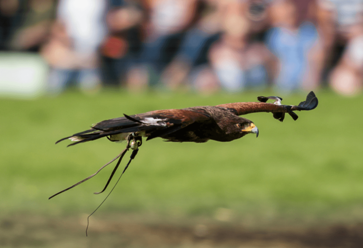 Chatsworth 2019 - Falconry