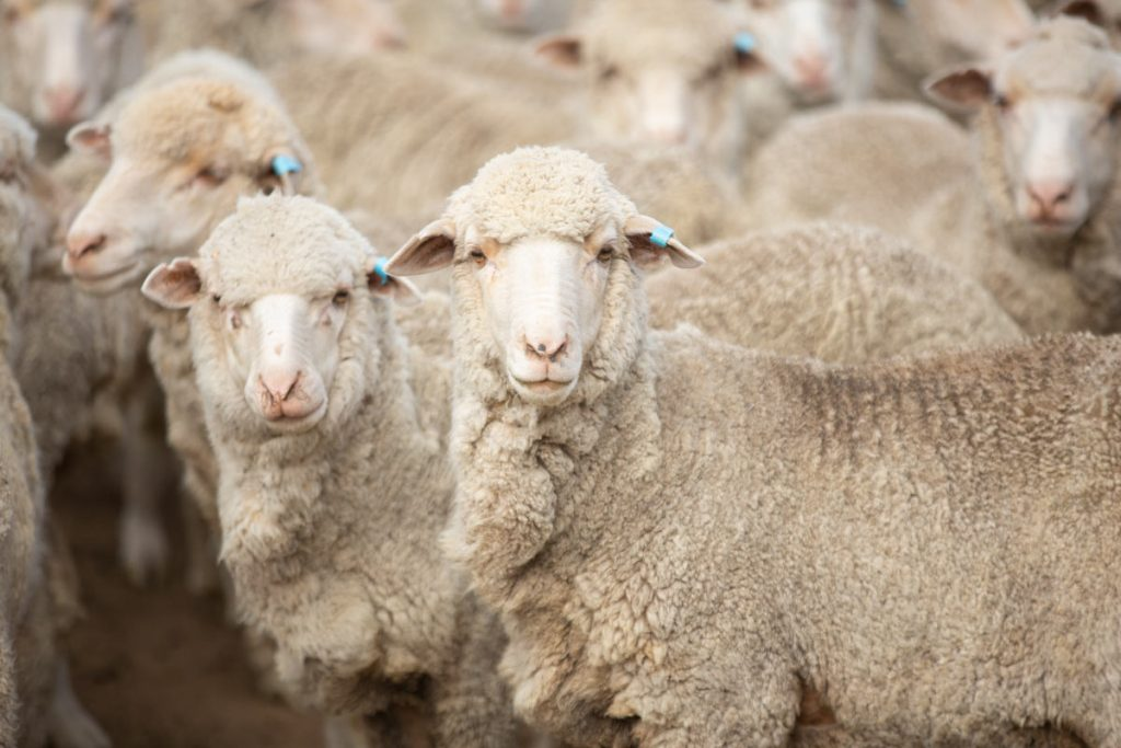 McNair Shirts - merino sheep, Australia