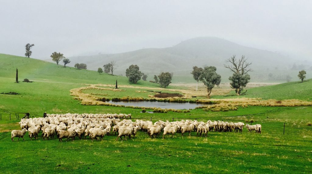 McNair Shirts – Merino sheep, Australia
